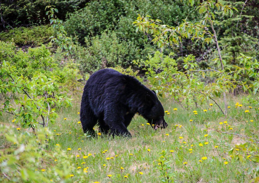 L'orso nero canadese