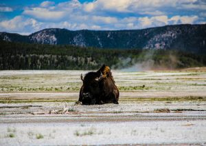Bisonte a Yellowstone